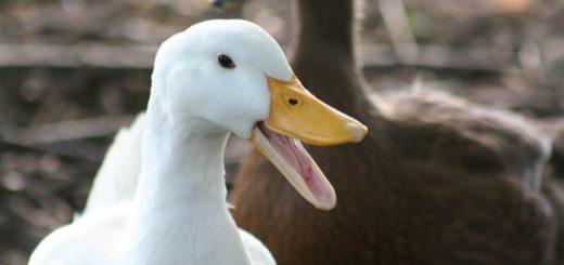 Duck Quack | www.FreeSoundsLibrary.com