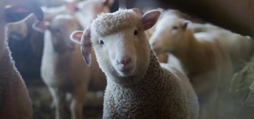 Sheep Sound Effect   www.FreeSoundsLibrary.com