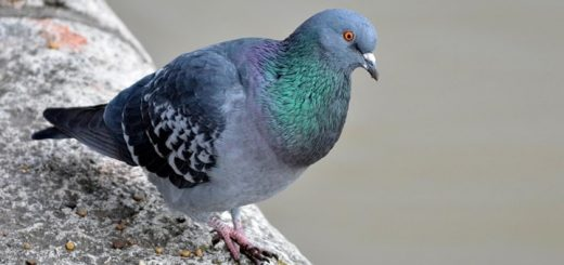 Pigeon Cooing Sound Effect