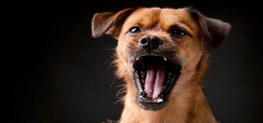 Angry Dog Barking Close Sound Effect