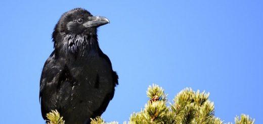 Raven Sounds