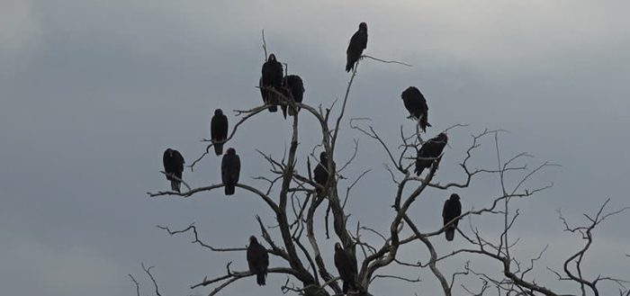 Crows Sound Morning in the City Sound Effect
