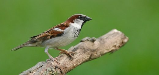 House Sparrow Noise