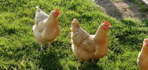 Chicken Noises