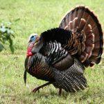 Turkey Gobble Call Sound