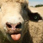 Sheep Bah Sound Effect