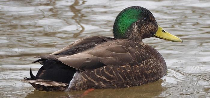 Duck Noises