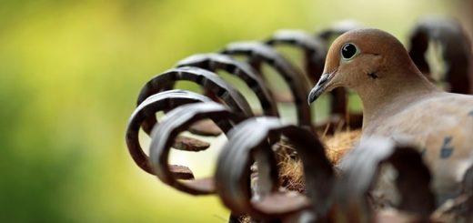 Bird Cooing Sound