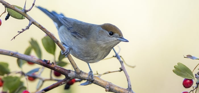 Blackcap Song