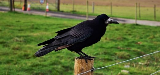 Crows Caw in Field