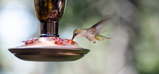 Hummingbird Sounds