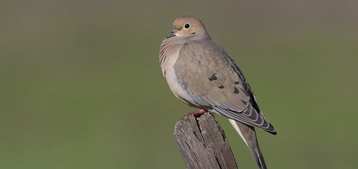 Mourning Dove Sound