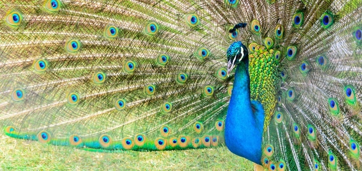 Peacock Calling Sound Effect