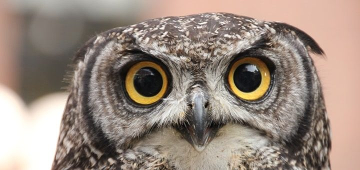 Screech Owl Sound