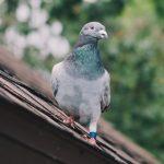 Pigeons Call