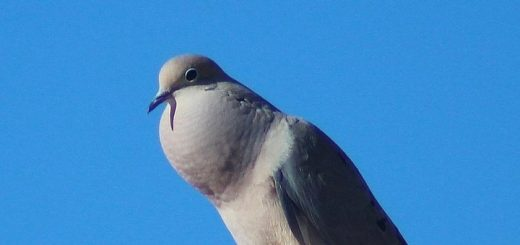 Dove Cooing Sound