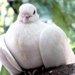 Dove Singing