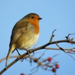 Robin Sound