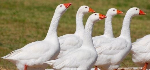 Sound of Domestic White Geese Honking