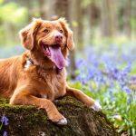 Distance Dog Barking Sound Effect