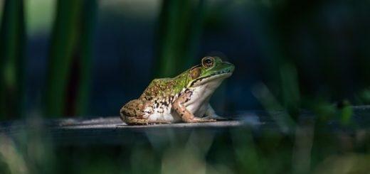 Frog Noises