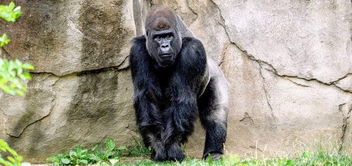 Gorilla Roar Sound