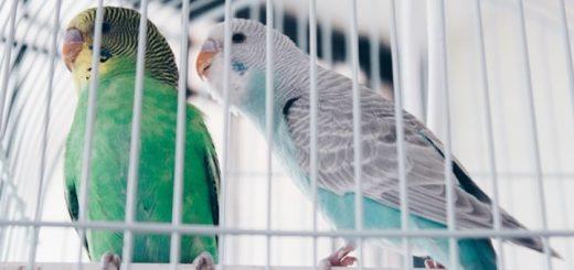 Parakeets Singing