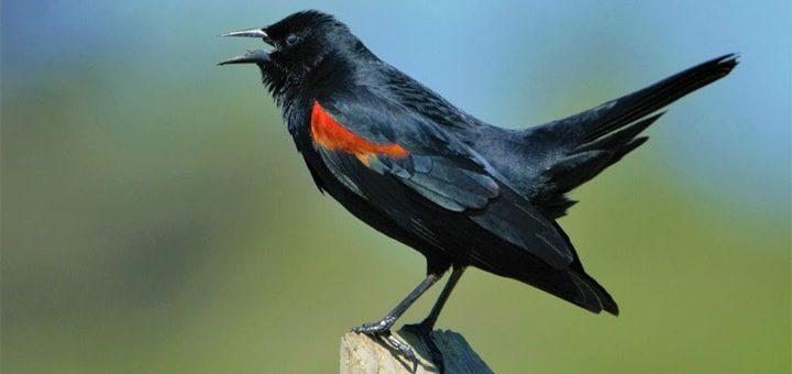 Red Winged Blackbird Call