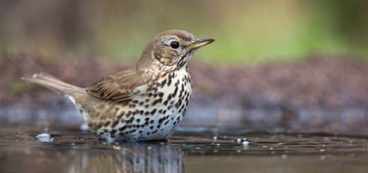 Wood Thrush Song