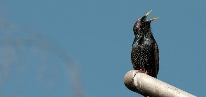Starling Birdsong