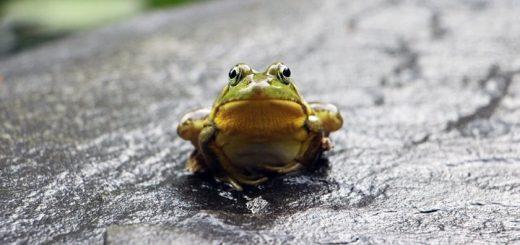 Bullfrog Call