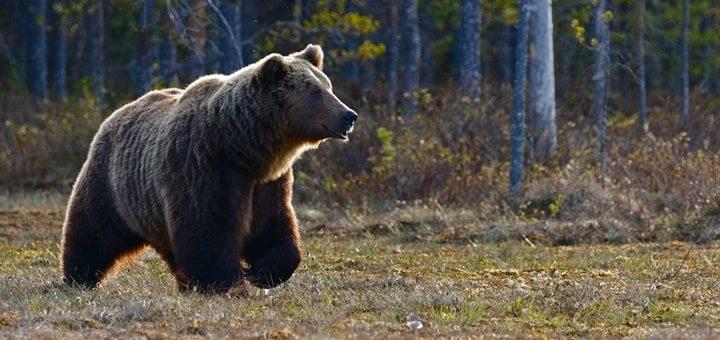 Bear Sounds
