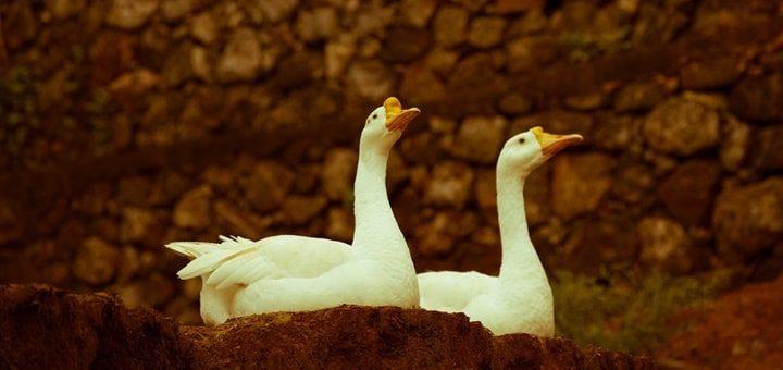 Domestic Ducks Quacking