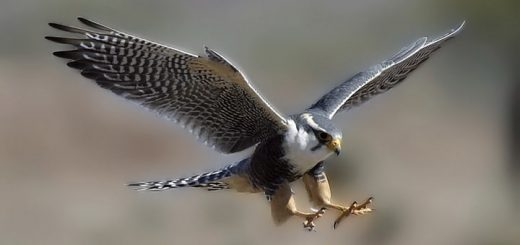 Falcon Sound