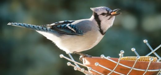 Blue Jay Sounds