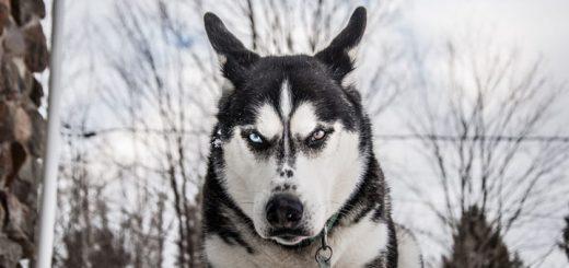 Dog Growling Sound Effect