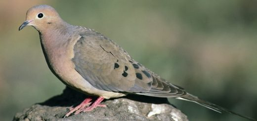 Mourning Dove Sound Effect