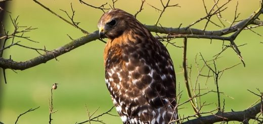 Red Shouldered Hawk Sound