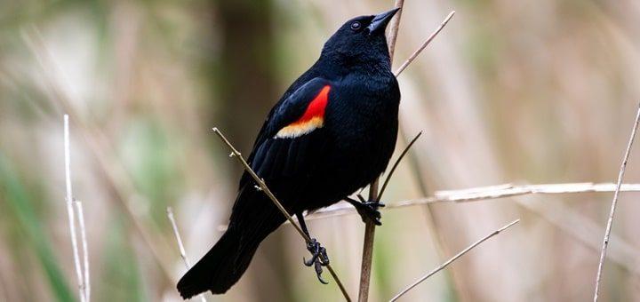 Red Winged Blackbird Sound