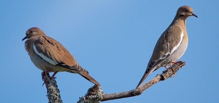 White-Winged Dove Sound