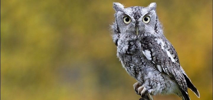 Eastern Screech Owl Sound