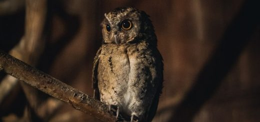 Owl Sound in the Night