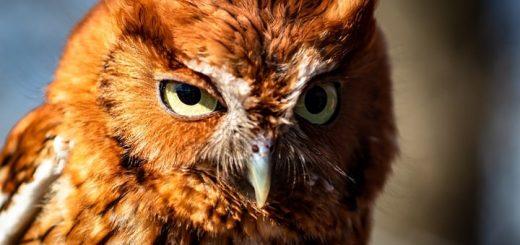 Screech Owl Sounds at Night