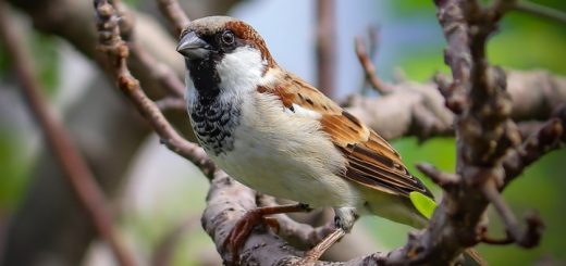Sparrow Sound Effect