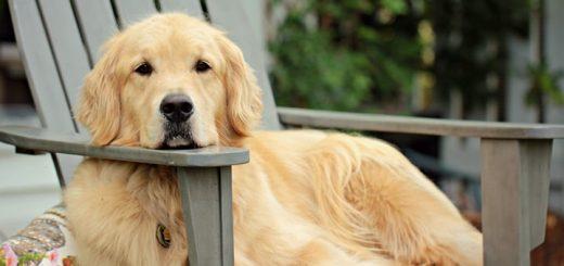 Large Dog Bark Once Sound Effect
