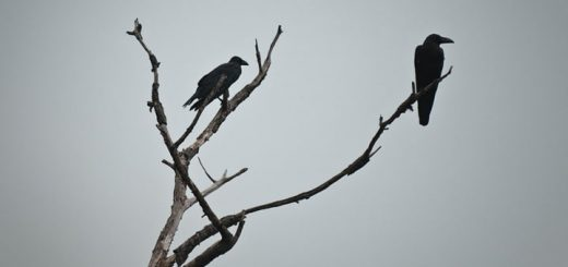 Crow Cawing Sound Effect