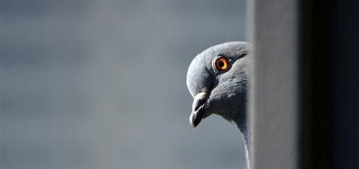 Dove Calling Sound Effect