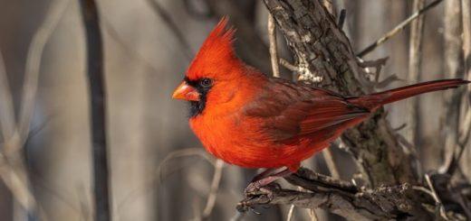 Cardinal Bird Call