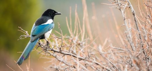 Magpie Call Sound Effect