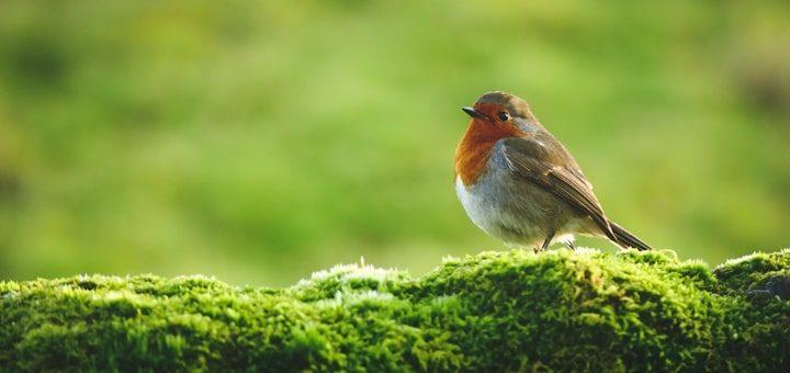 Robin Chirping